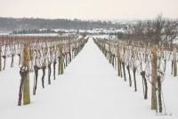 Winterliche Weinrieden
